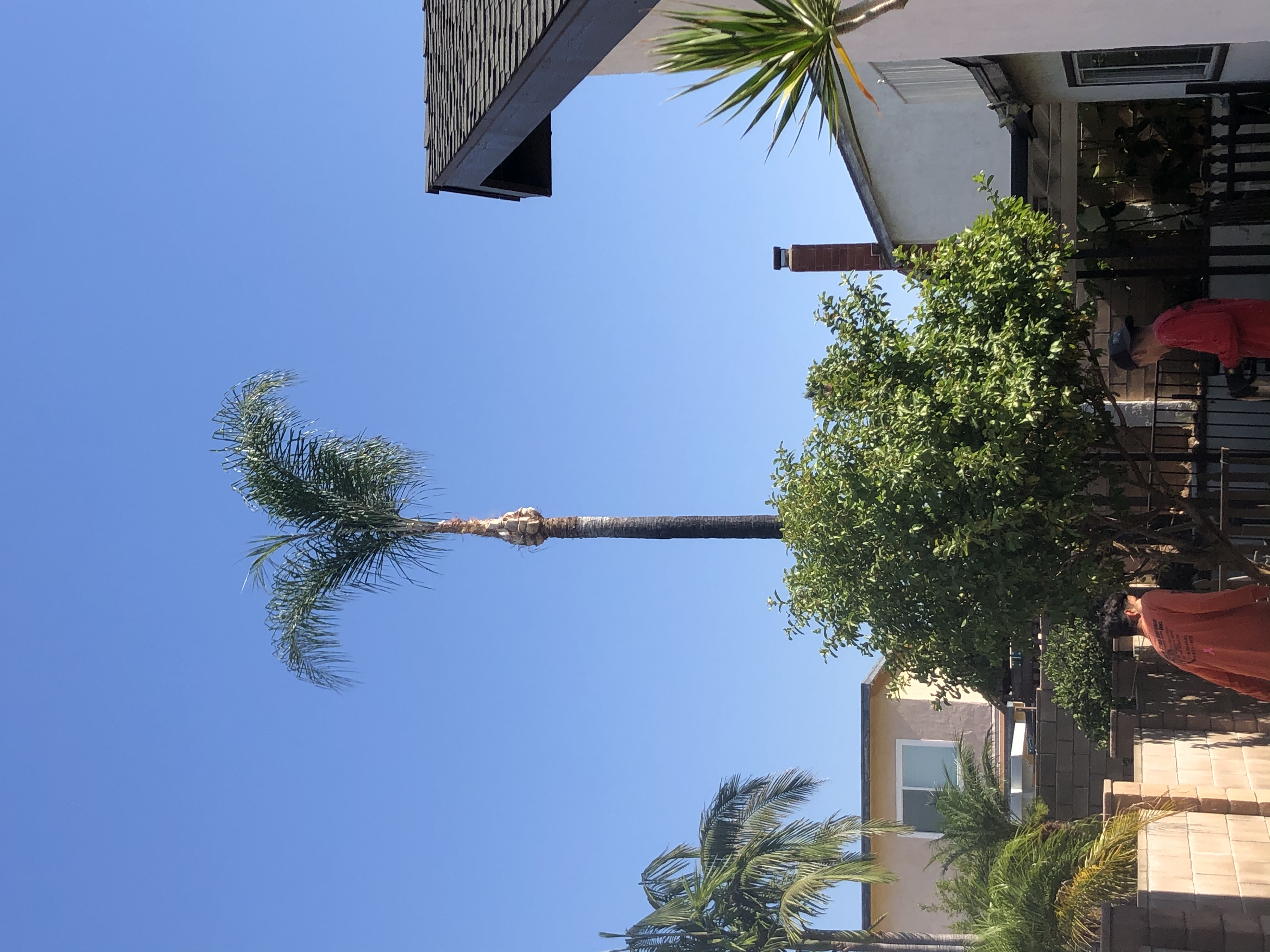Palm tree trimmed